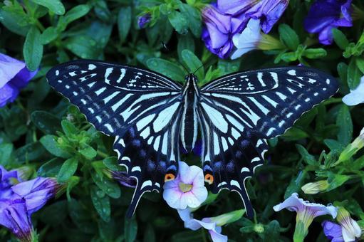 호랑 나비와 피튜니아