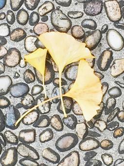 Ginkgo no fallen leaves