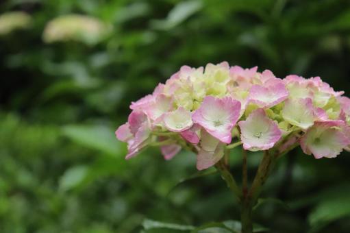 Hydrangea Hydrangea Hydrangea Pink Purple Green Leaves Beautiful Beautiful Fantastic Cute Calm Rain