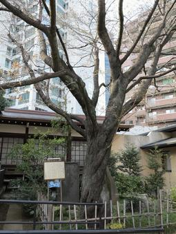 Shibuya Kin Wang Hachimangu Shrine Kinouzakura