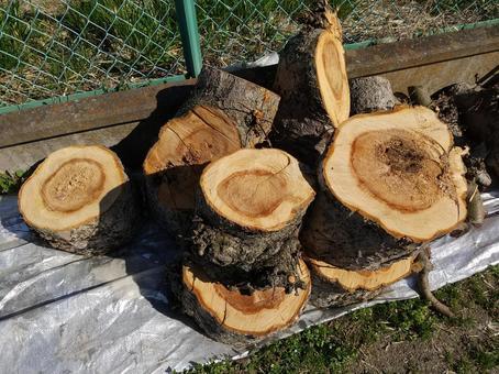 사과 나무 벌목 연륜