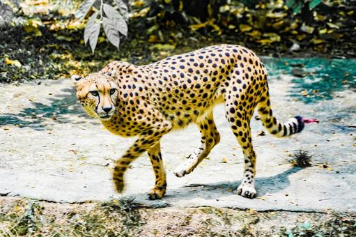 Cheetah standing on a rock (Singapore Zoo)