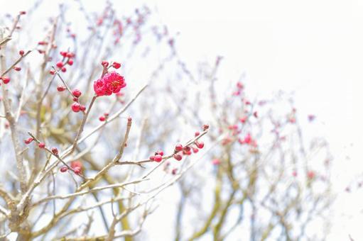 One minute blooming plum