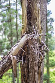 へし折ら 된 삼나무 3
