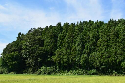 Japanese cedar forest Mountain forest in Yamagata prefecture