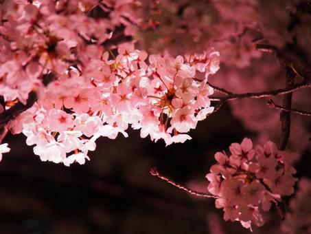 벚꽃 라이트 업 핑크