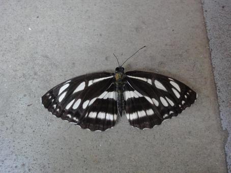 黒と白の蛾
