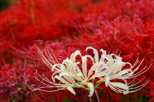 모에 逢妻女川의 피안 꽃 홍백