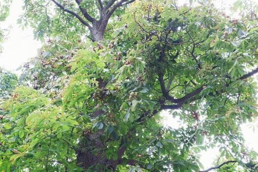 A large horse chestnut tree with a lot of fruits