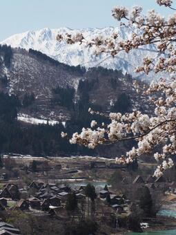 시라카와 고의 벚꽃