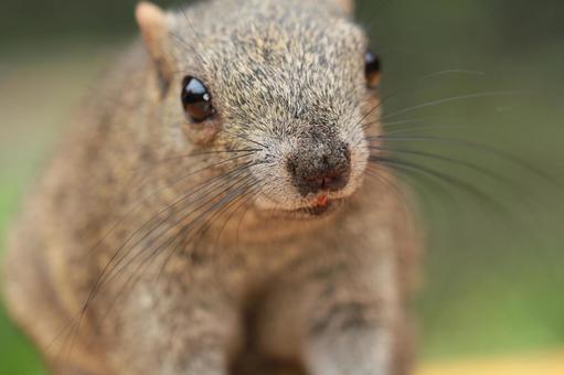 Thai One Squirrel 13