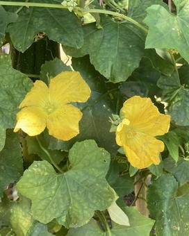 Loofah flower