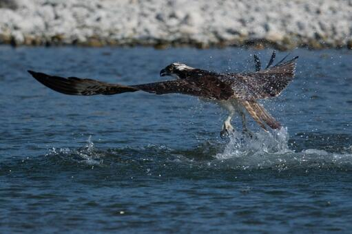 Dive of the Osprey