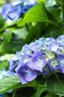 Hydrangea Hydrangea Hydrangea Purple Beautiful Beautiful Fantastic Refreshing Grace Cute Rain Petals