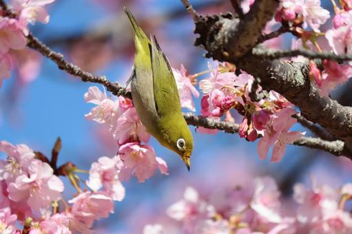 Sakura and white-eye