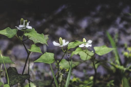 물가에 피는 삼백초 꽃