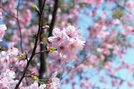 Cherry blossoms in full bloom in blue sky