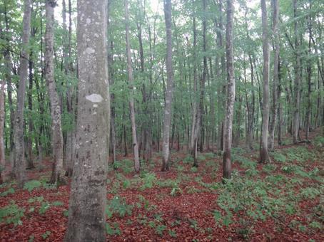 Fog beech forest