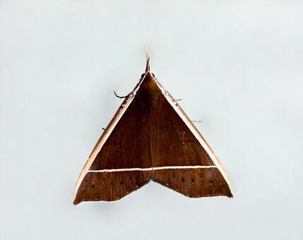 Triangular moth