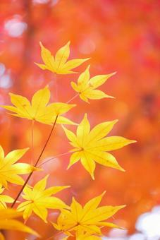 秋天的落葉和黃色的葉子