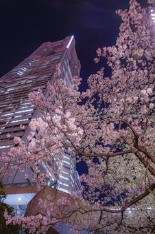 요코하마 미나토 미라이의 벚꽃과 요코하마 랜드 마크 타워