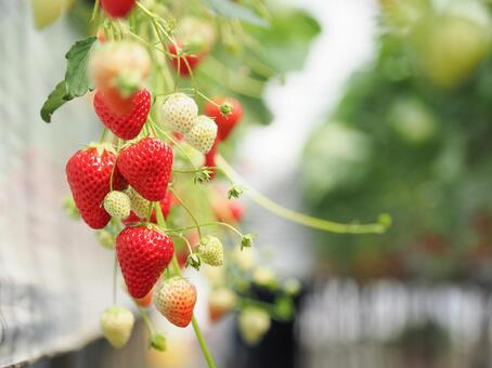 Strawberry hunting image