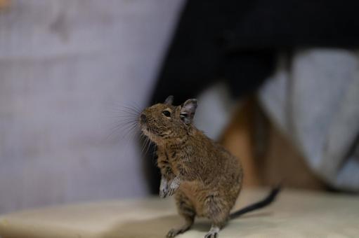 [Pet] Degu standing up [Small animals]
