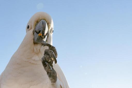 澳大利亞野鳥基巴丹英文名字的鳳頭鸚鵡吃著早晨的藍天下的鸚鵡獵物