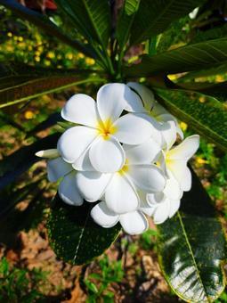 Seychelles Plumeria