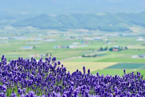 Lavender on the hill