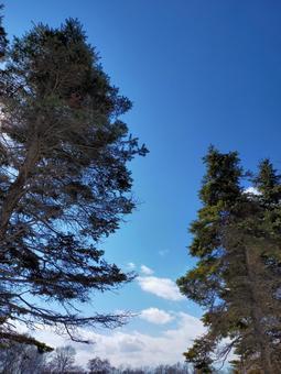 큰 침엽수와 푸른 하늘