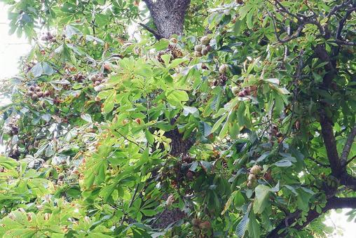 Canadian horse chestnut