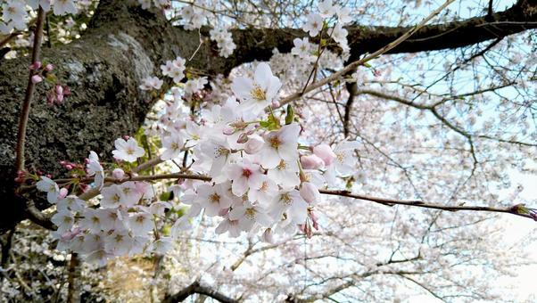 만개 한 벚꽃