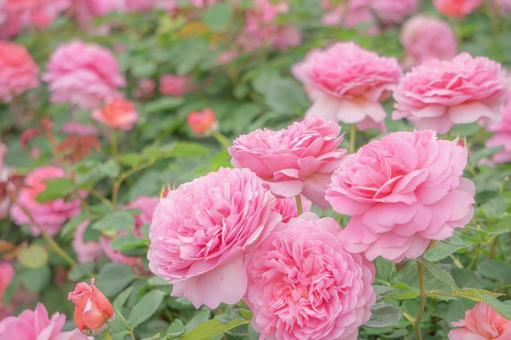 ローズガーデンのピンクのバラ