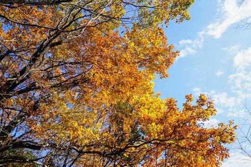 Hiwadayama autumn leaves