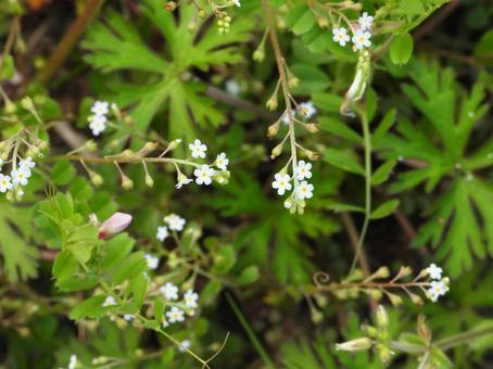 Trigonotis peduncle (wild grass)
