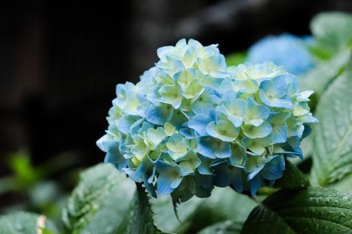 Hydrangea Hydrangea Hydrangea Beautiful Beautiful Cute Calm and refreshing Rain petals