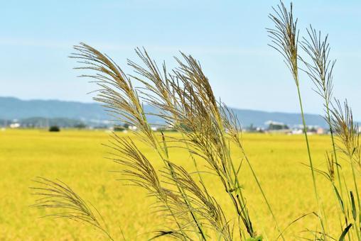 Autumn scenery Japanese pampas grass 05