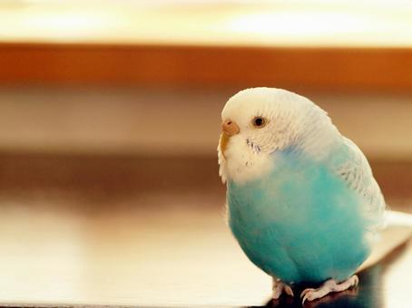 푸른 사랑 앵무, 배 균열에서 내부 또는