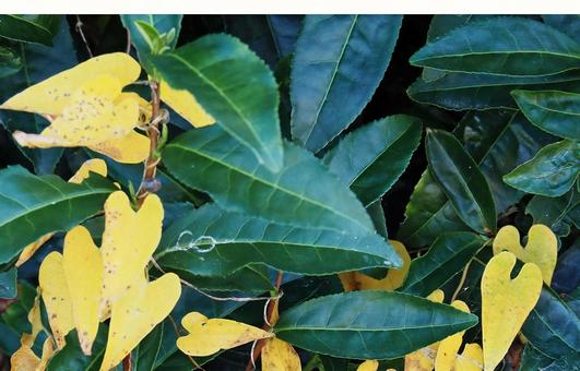 Yellow leaves of yam crawling in the tea plantation