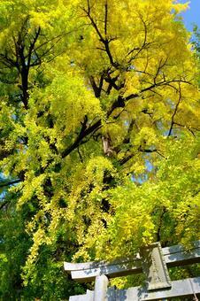 Large ginkgo tree at Susanoo Shrine in Nara Prefecture