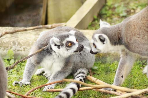 Asahiyama Zoo_Ring-tailed Lemur