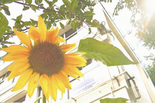 School sunflower sunflower