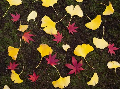 Ginkgo and maple