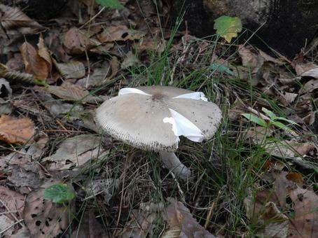 독버섯의 일종 독버섯 우산 균열