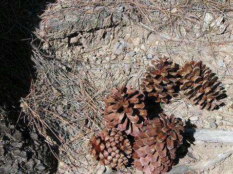 [외국] 침엽수 솔방울 산 카나리아 제도 하이킹 하늘 자연 식물