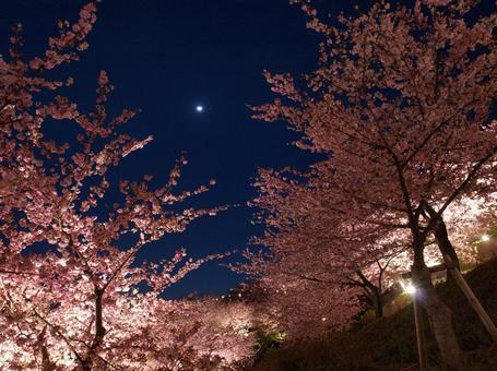 카와 벚꽃의 라이트 업과 달