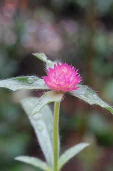 Pink amaranth