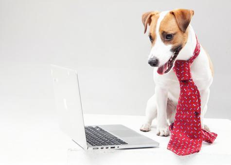Jack Russell Terrier 3 wearing a tie