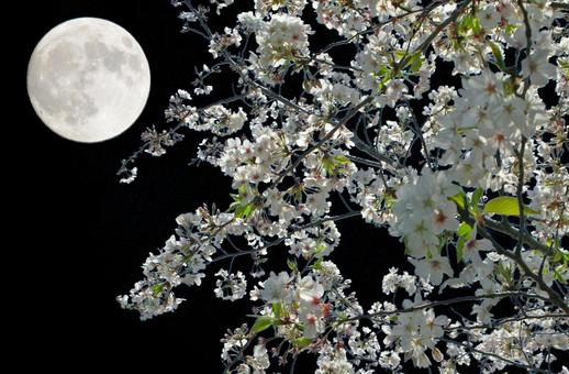 Cherry blossoms at moonlight